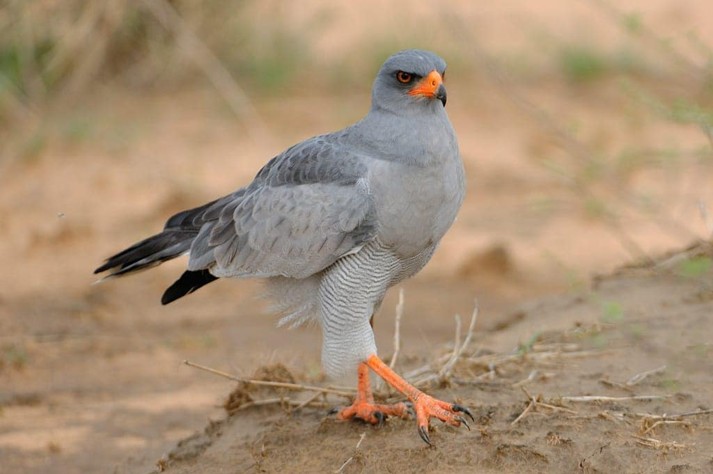 mokala-parc-national-afrique-du-sud-decouverte-pale-chanting-goshawk