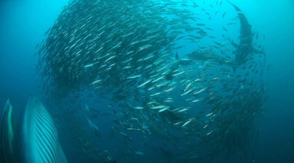 afrique-du-sud-sardine-run-afrique-du-sud-decouverte