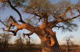 baobabs-afrique-du-sud-decouverte