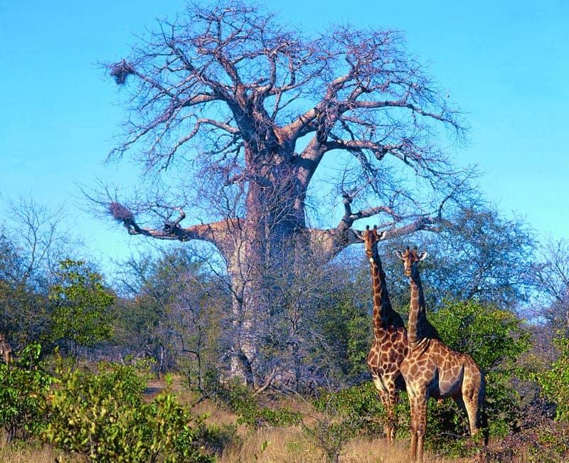 baobabs-girafes-afrique-du-sud-decouverte
