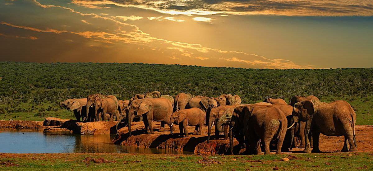 Group d'éléphants au coucher du soleil autour d'un lac pour s'abreuver - Afrique du Sud