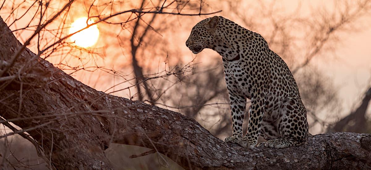 Leopard admire le coucher du soleil en Afrique du Sud