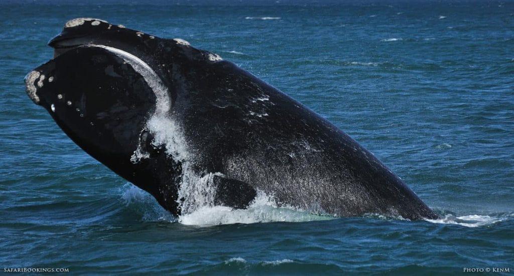 big-seven-baleine-franche-australe-afrique-du-sud-decouverte