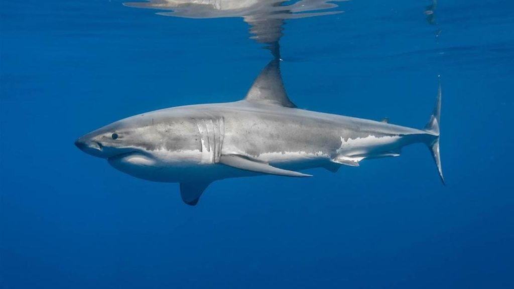 big-seven-grand-requin-blanc-afrique-du-sud-decouverte