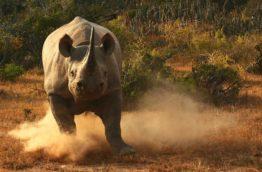 big-seven-rhino-noir-afrique-du-sud-decouverte