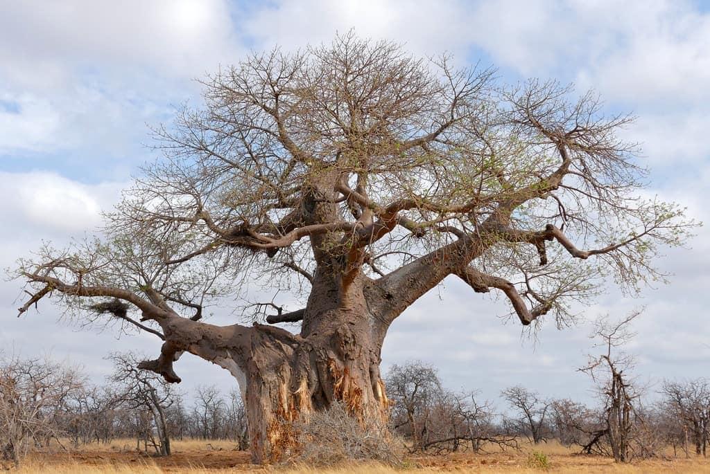endroits-naturels-baobabs-mapungubwe-afrique-du-sud-decouverte