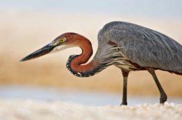 reserve-naturelle-de-sandveld-ardea-goliath-afrique-du-sud-decouvertereserve-naturelle-de-sandveld-ardea-goliath-afrique-du-sud-decouverte