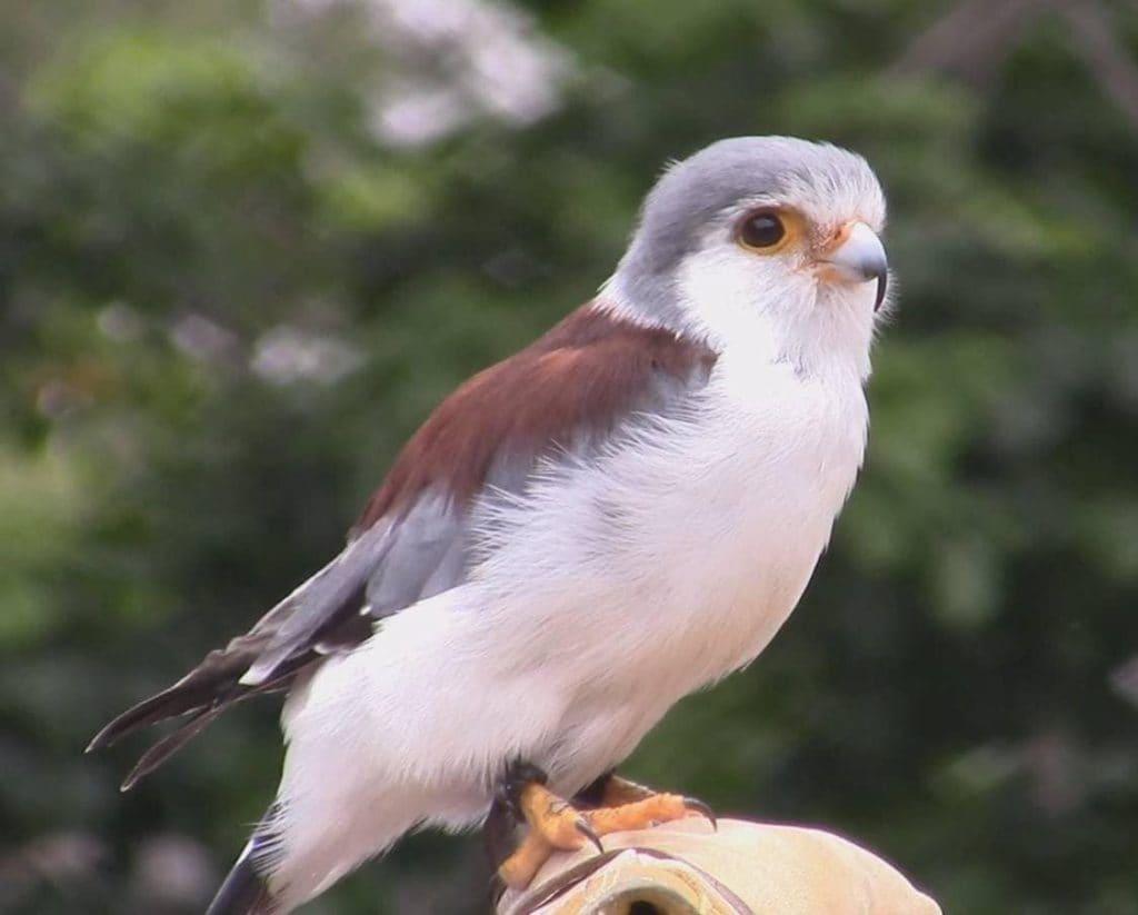 reserve-naturelle-de-sandveld-polihierax-semitorquatus-afrique-du-sud-decouverte