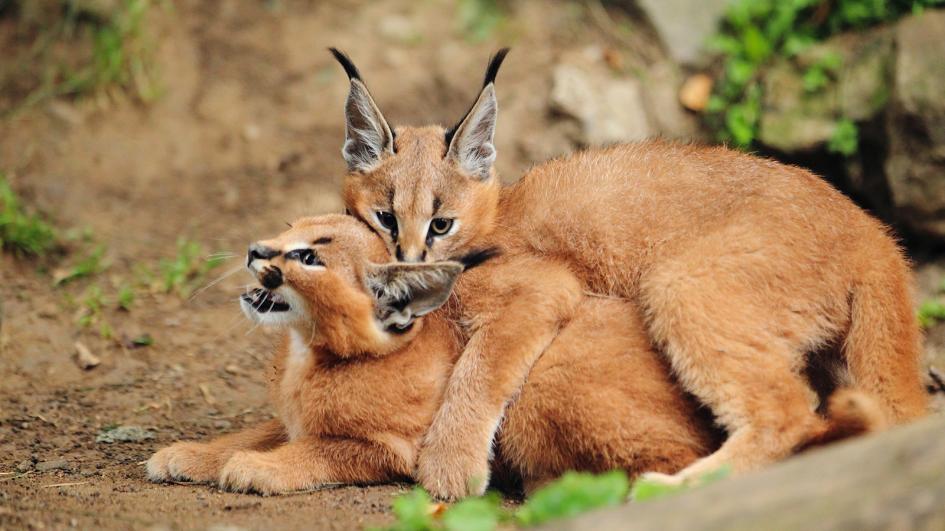 bebes-animaux-caracal-afrique-du-sud-decouverte