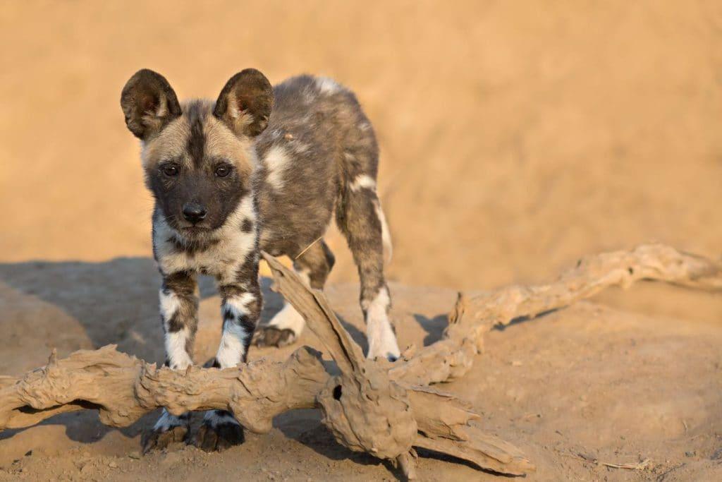 bebes-animaux-chien-sauvage-afrique-du-sud-decouverte