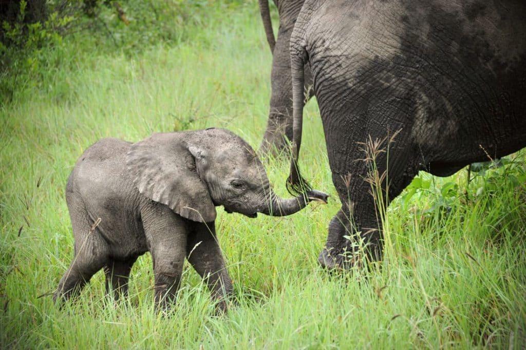 bebes-animaux-elephant-afrique-du-sud-decouverte