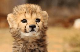 bebes-animaux-guepard-1-afrique-du-sud-decouverte