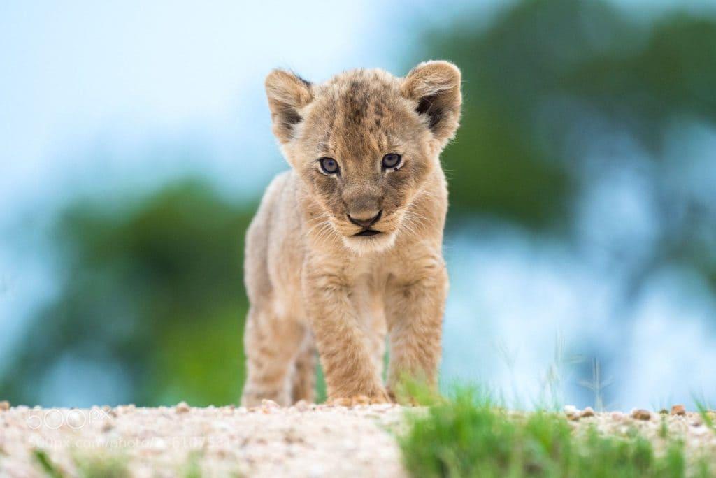 bebes-animaux-lionceau-afrique-du-sud-decouverte