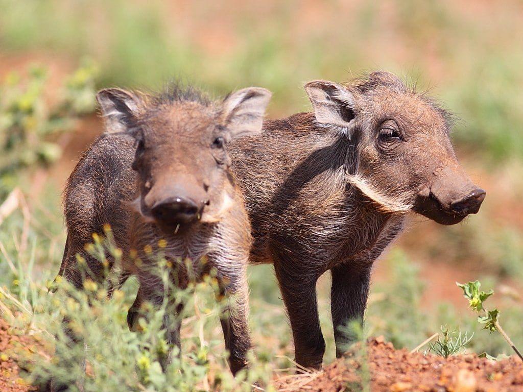 bebes-animaux-phacochere-afrique-du-sud-decouverte