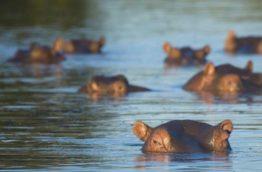 hippopotames-afrique-du-sud-decouverte