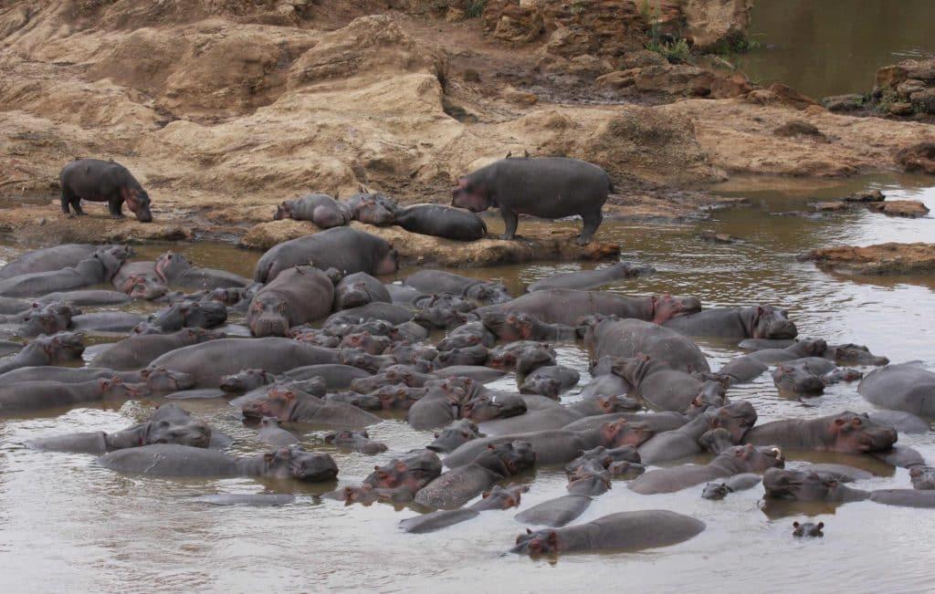 hippopotames-etang-afrique-du-sud-decouverte