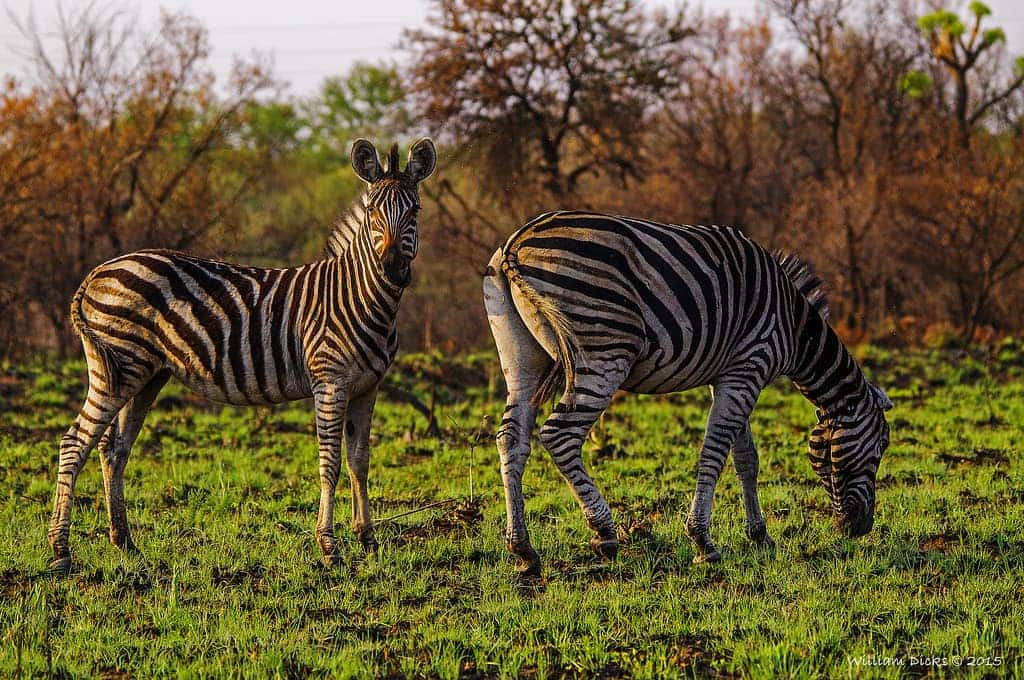 roodeplaat-mirador-zebre-afrique-du-sud-decouverte