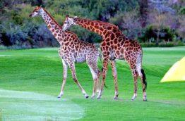 golf-giraffes-afrique-du-sud-decouverte
