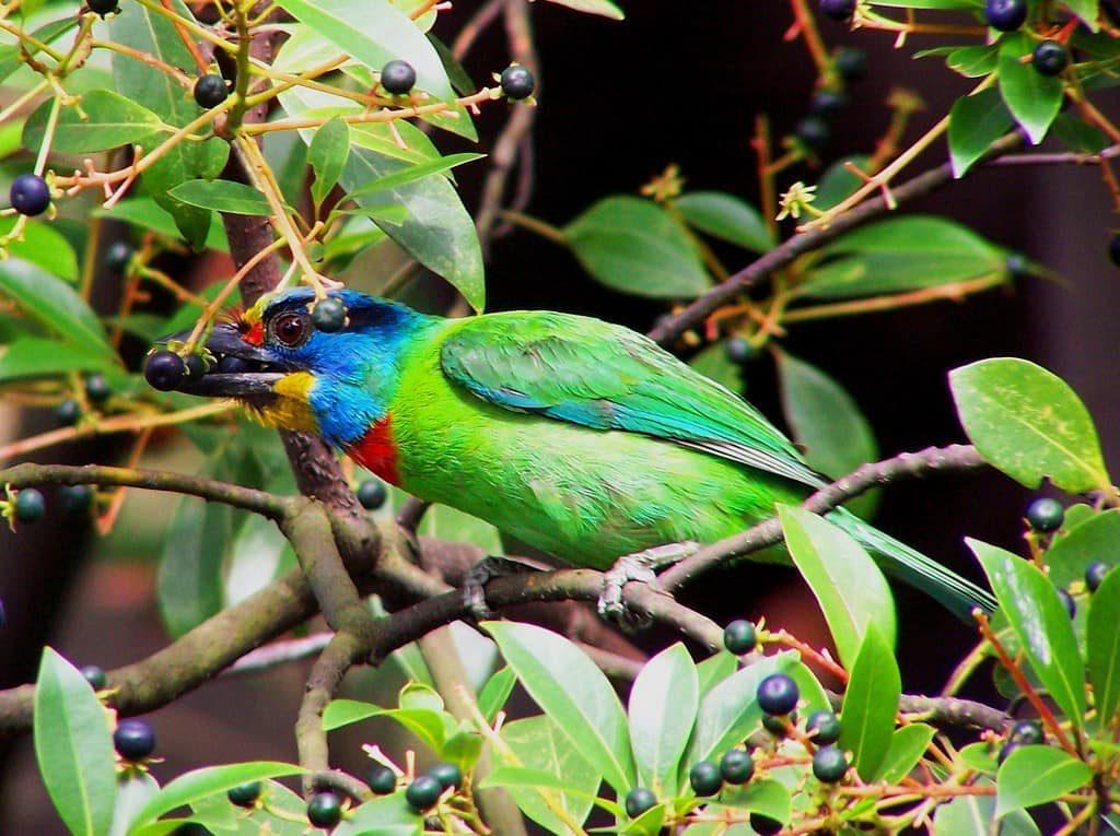 oiseaux-barbican-olivatre-afrique-du-sud-decouverte