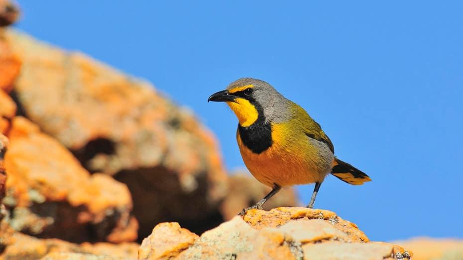 oiseaux-gladiateur-bacbakiri-afrique-du-sud-decouverte