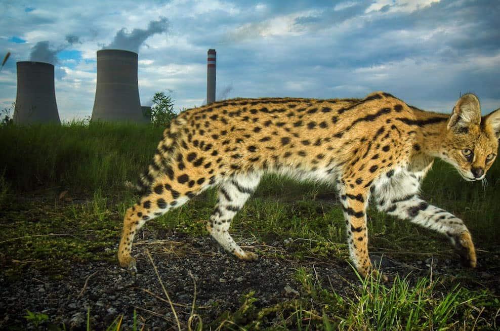 felins-serval-afrique-du-sud-decouverte