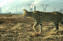 felins-serval-usine-afrique-du-sud-decouverte