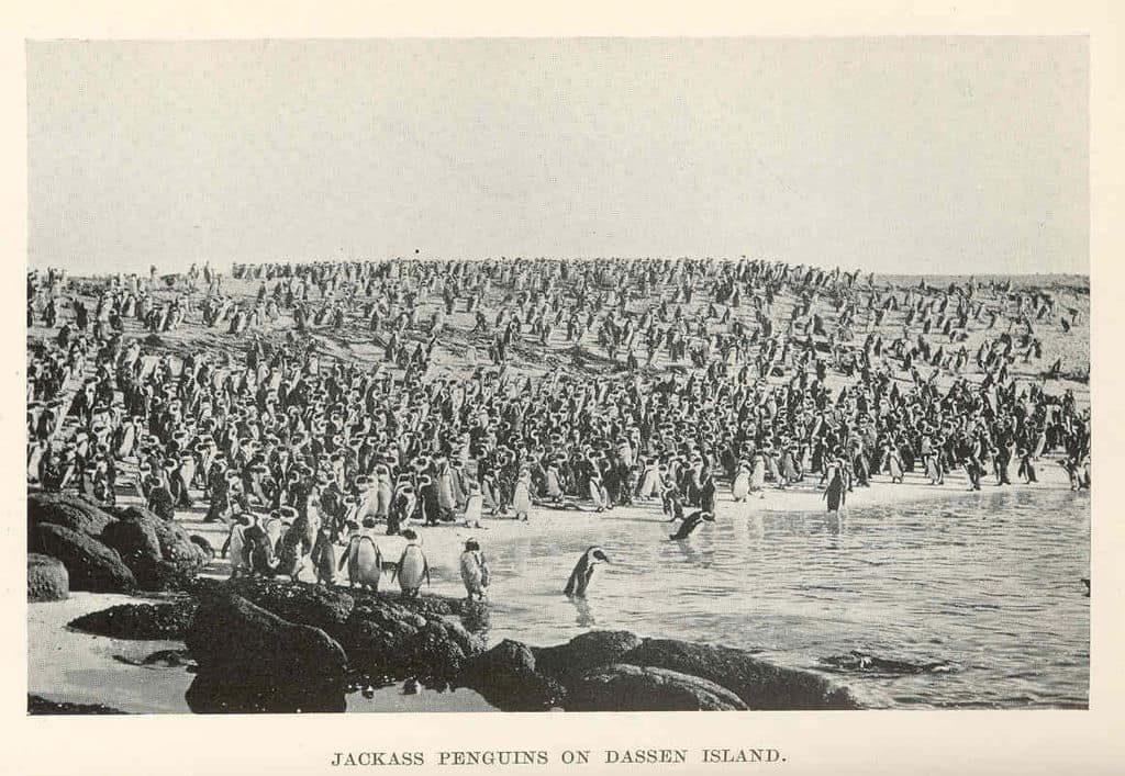 iles-dassen-island-afrique-du-sud-decouverte