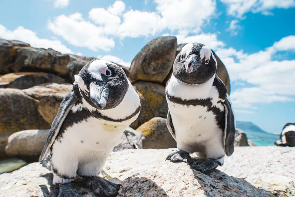 cool-pingouin-afrique-du-sud-decouverte