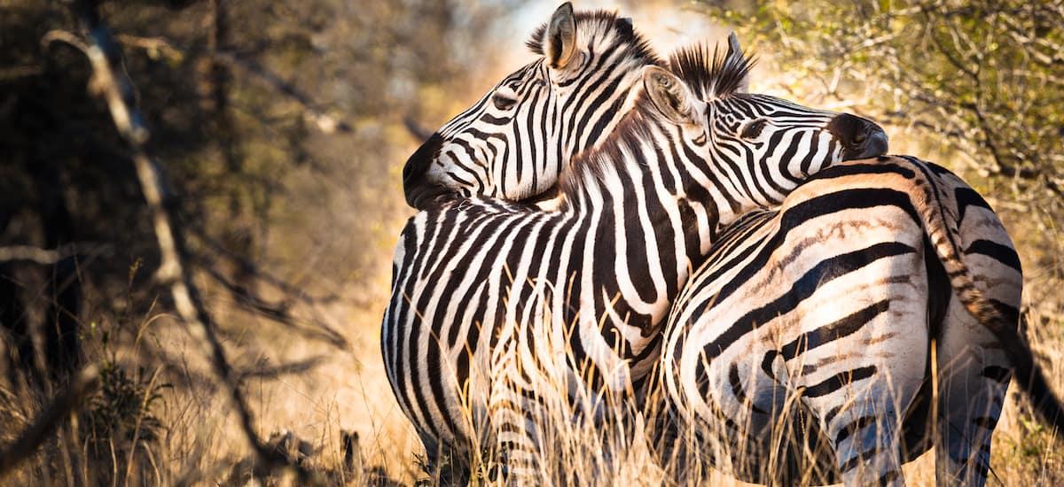Il n'y a pas que les zèbres amoureux au Kruger