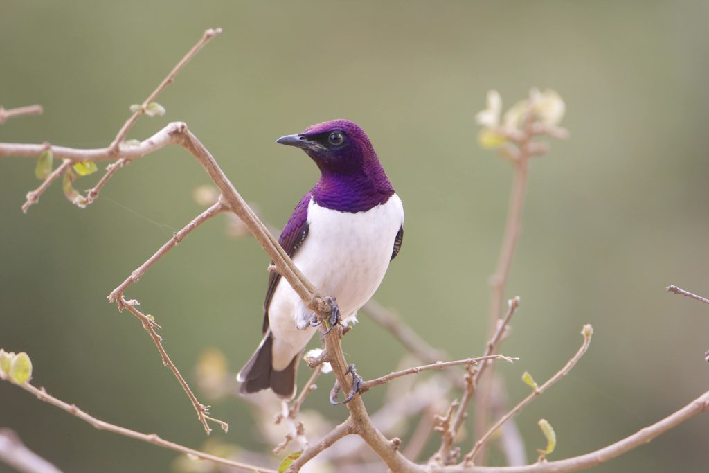 reserve-de-polokwane-violet-backed-starling-afrique-du-sud-decouverte