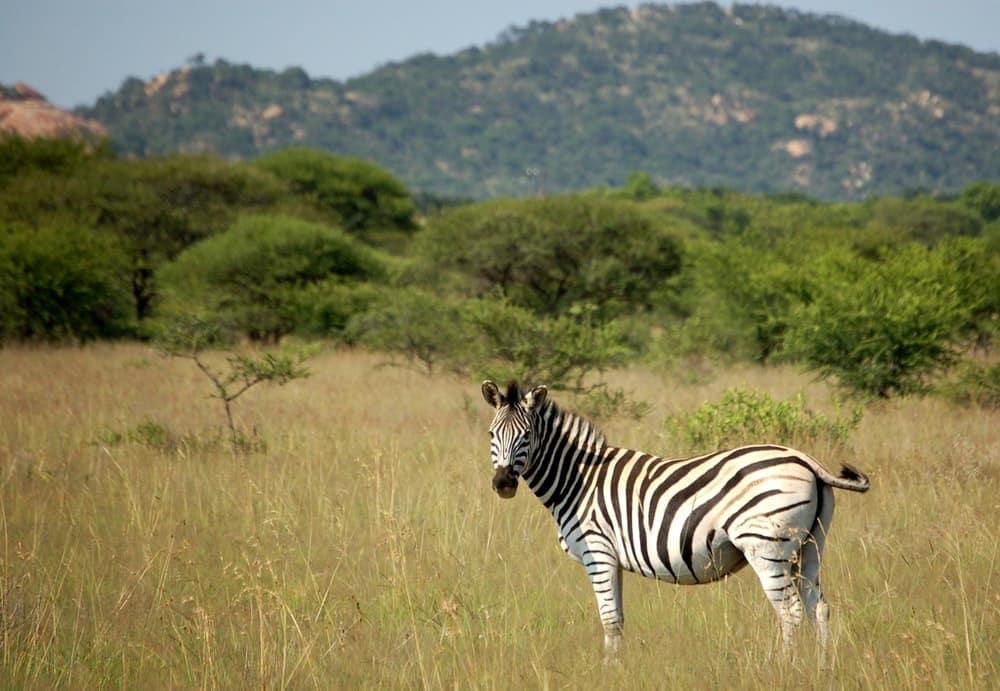 reserve-de-polokwane-zebre-afrique-du-sud-decouverte