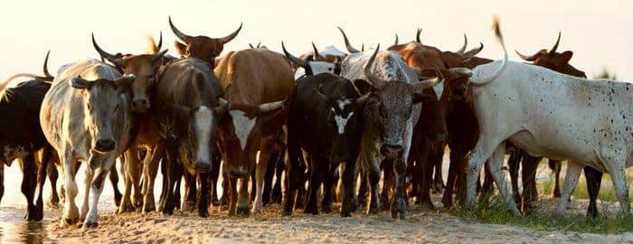 betail-zoulou-troupeau-afrique-du-sud-decouverte