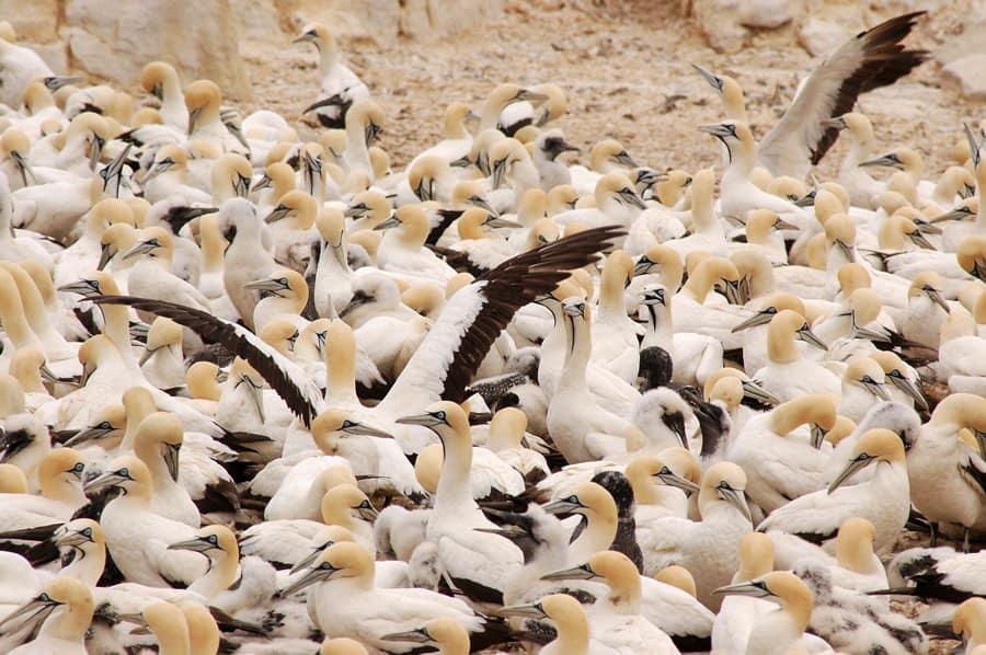 bird-island-cape-bannets-afrique-du-sud-decouverte