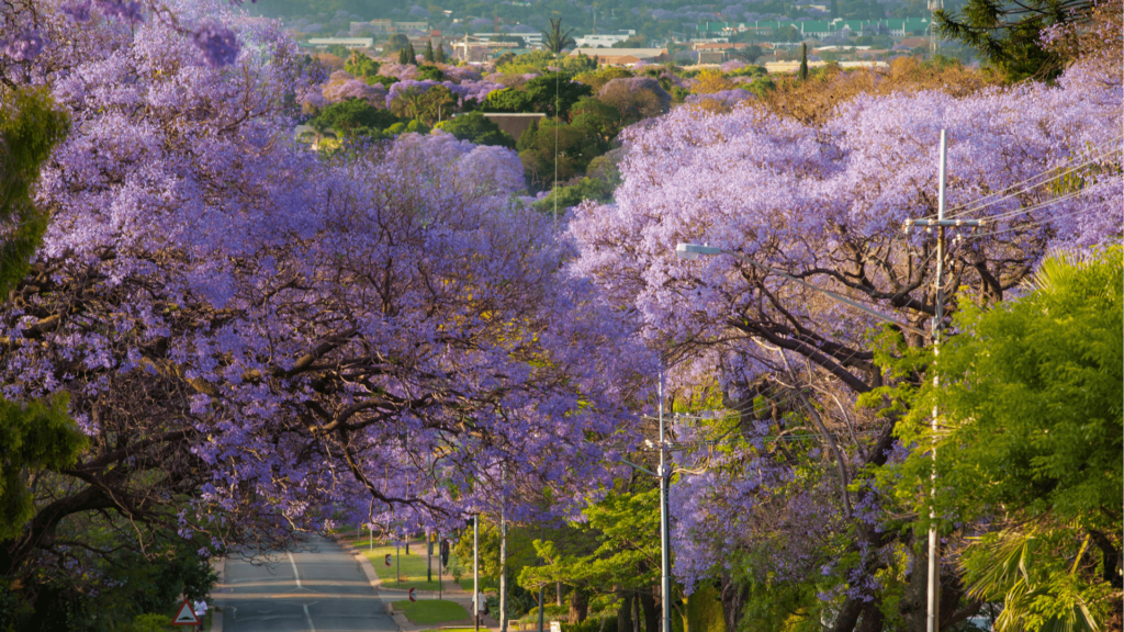 johannesburg-jacarandas-afrique-du-sud-decouverte