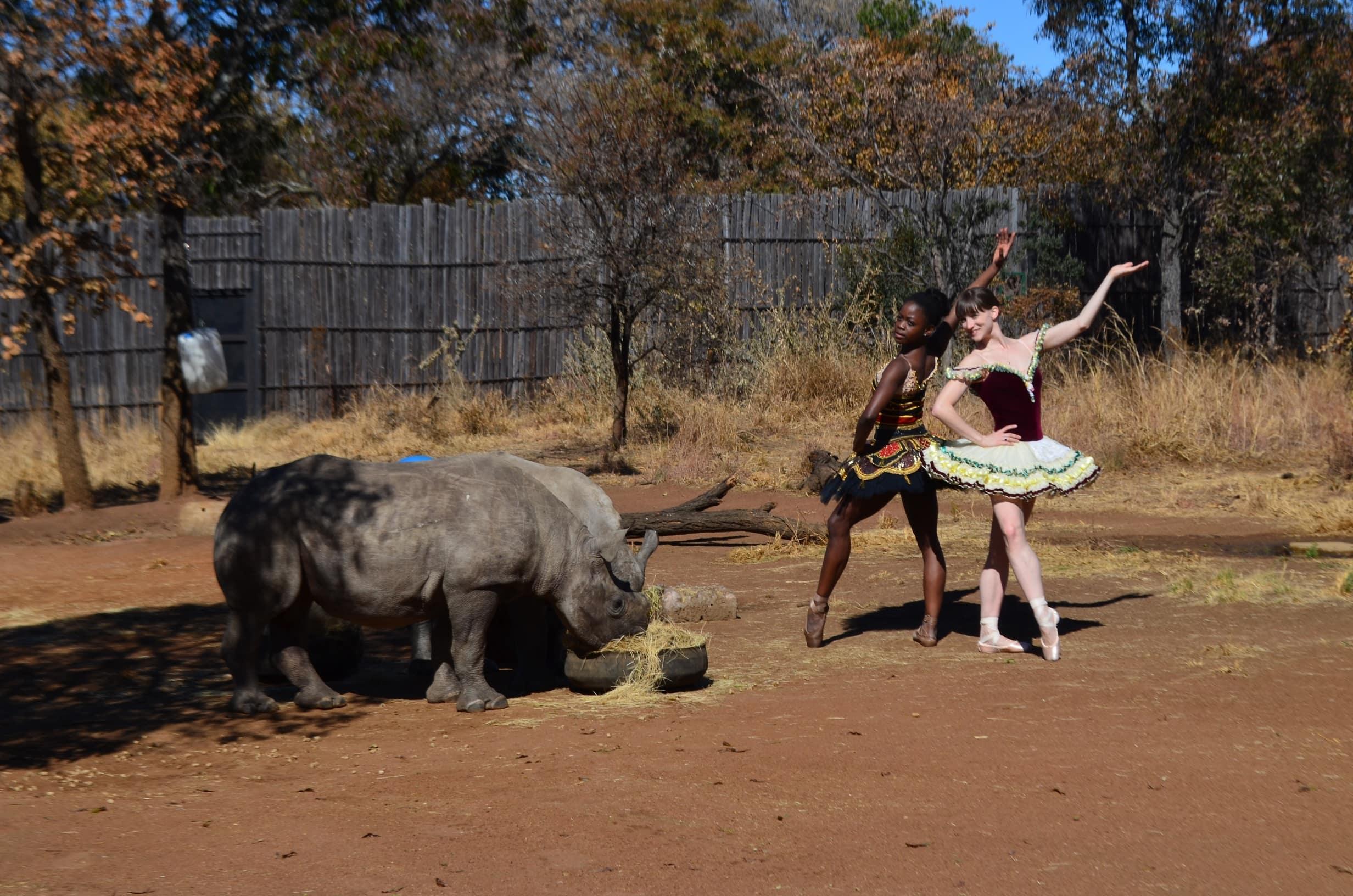 ballet-rhinoceros-afrique-du-sud-decouverte