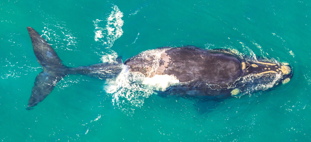 Les baleines à Hermanus