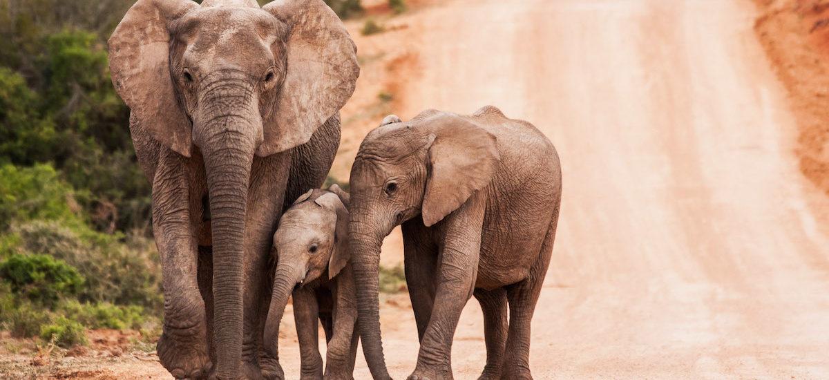 Des éléphants de père en fils