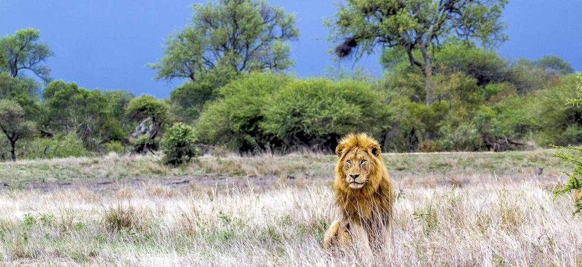 Lion isolé au milieu du Kruger