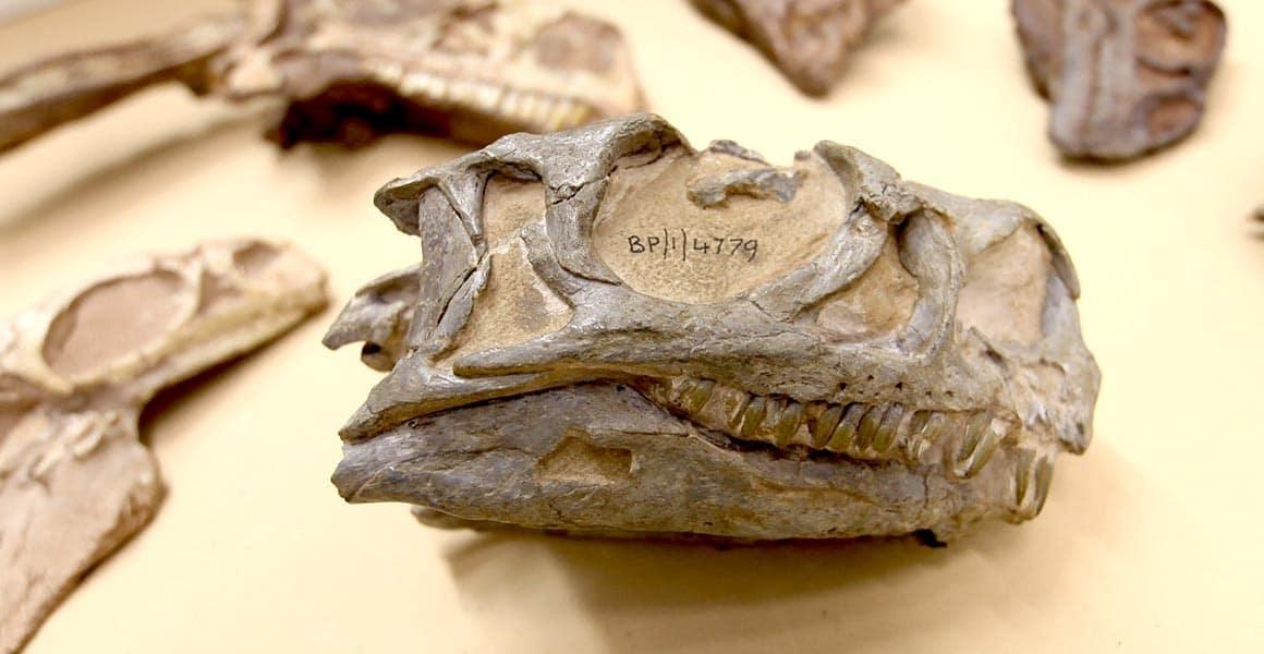 dinosaure-crane-2-afrique-du-sud-decouverte