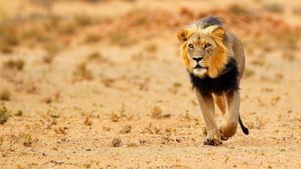 kalahari-lion-noir-afrique-du-sud-decouverte