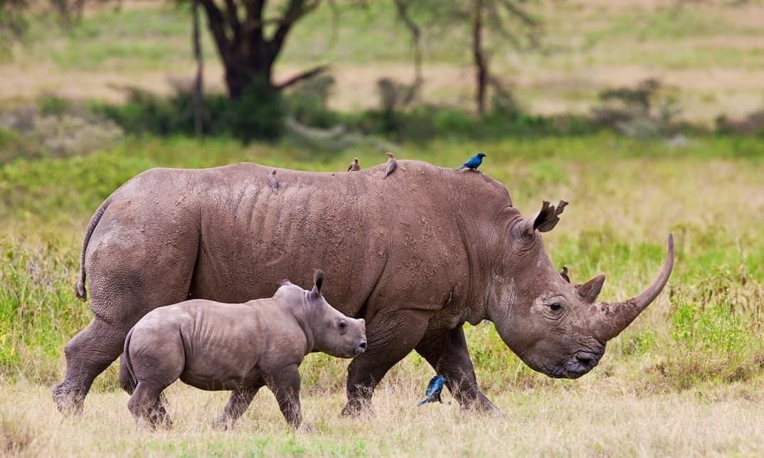 rhinoceros-cover-afrique-du-sud-decouverte