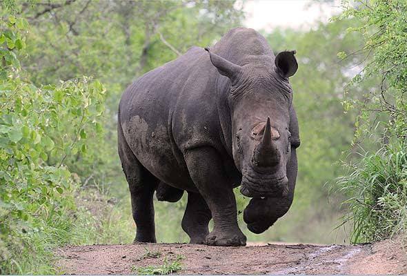 rhinoceros-face-afrique-du-sud-decouverte
