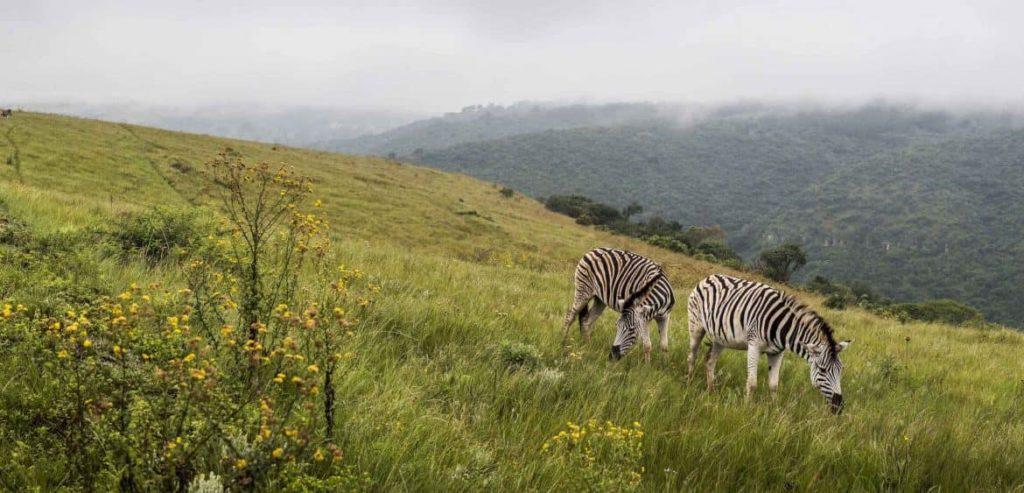 karkloof-zebres-afrique-du-sud-decouverte