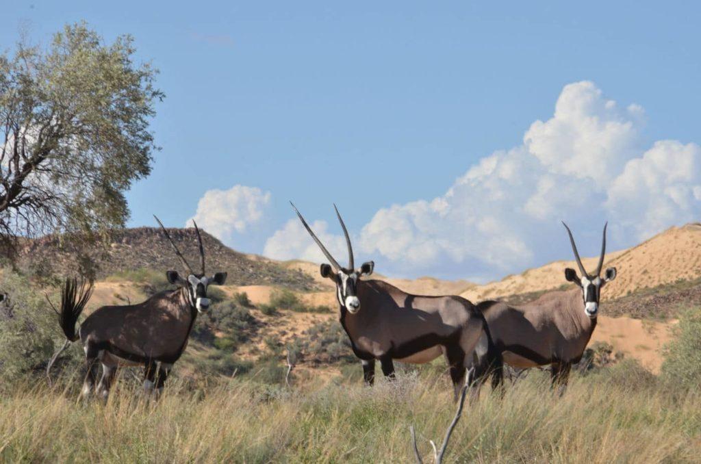 witsand-oryx-afrique-du-sud-decouverte