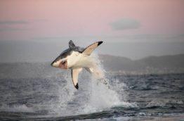 requin-blanc-cover-afrique-du-sud-decouverte