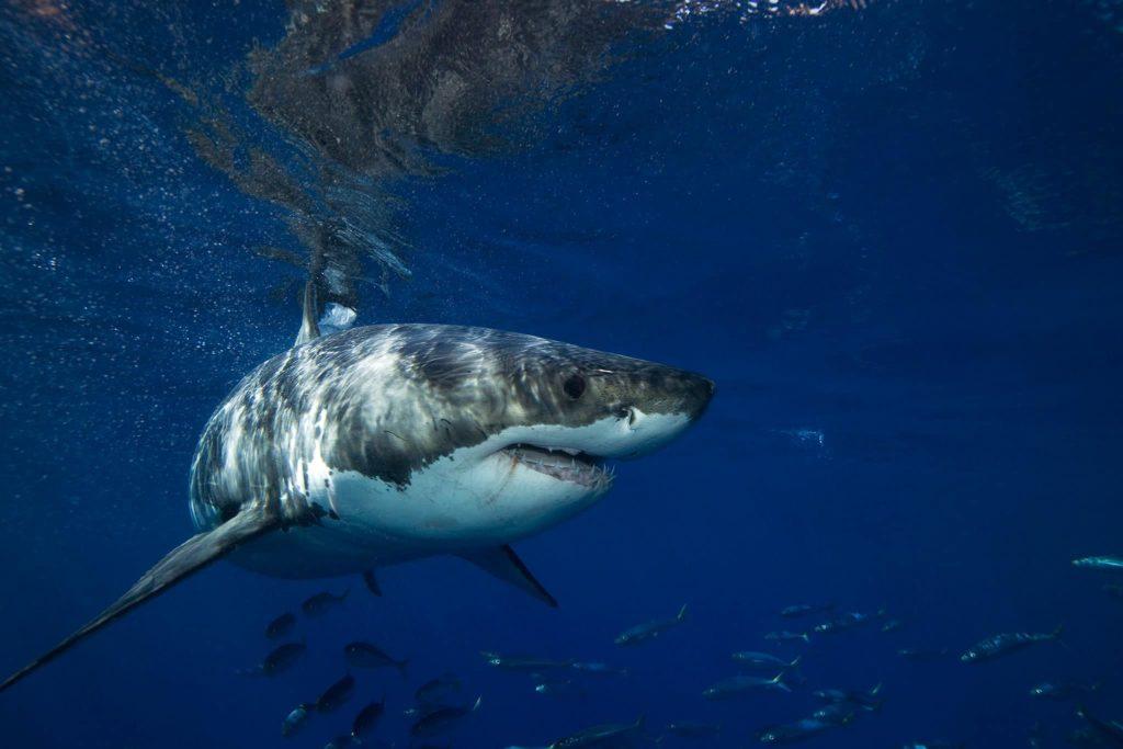 requin-blanc-entier-afrique-du-sud-decouverte