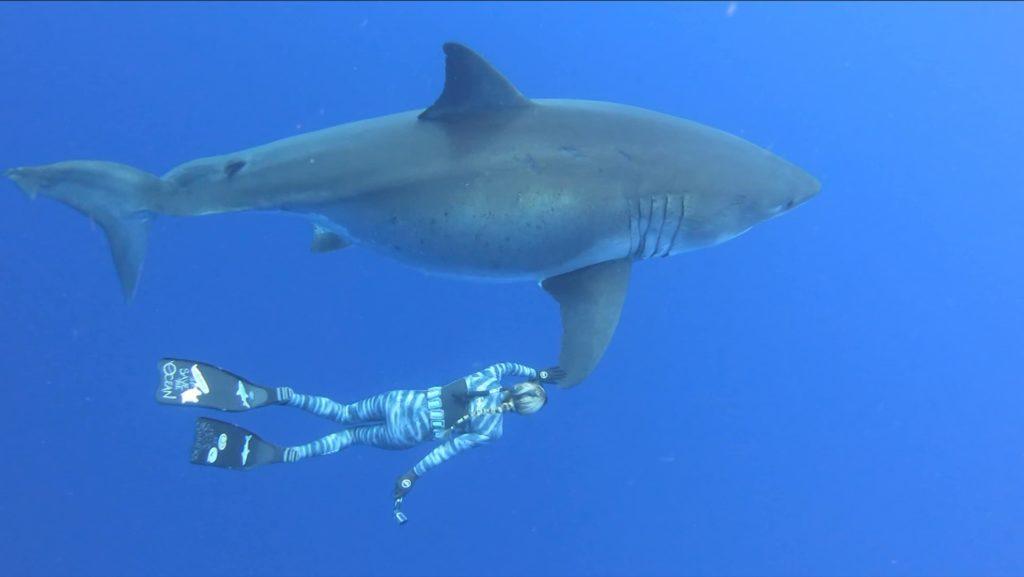 tiburon blanco nadando en sudáfrica