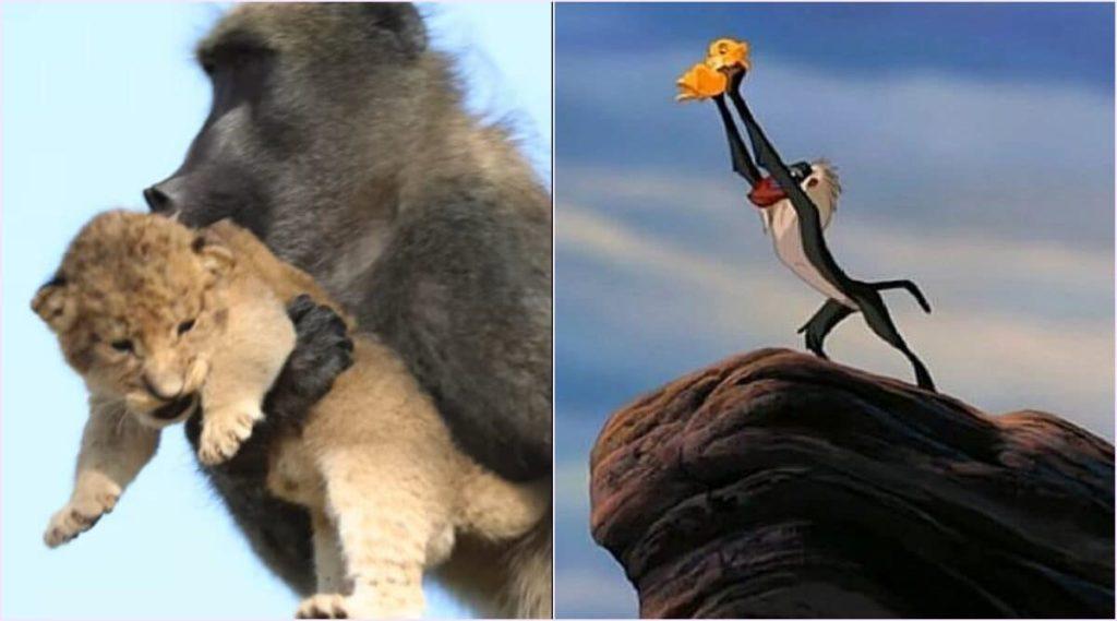 babuino-rey-león-sud-africa-descubrimiento