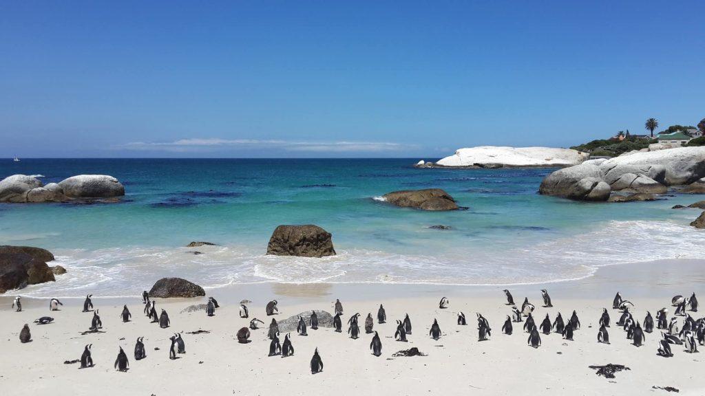 boulders-beach-pingouins-afrique-du-sud-decouverte