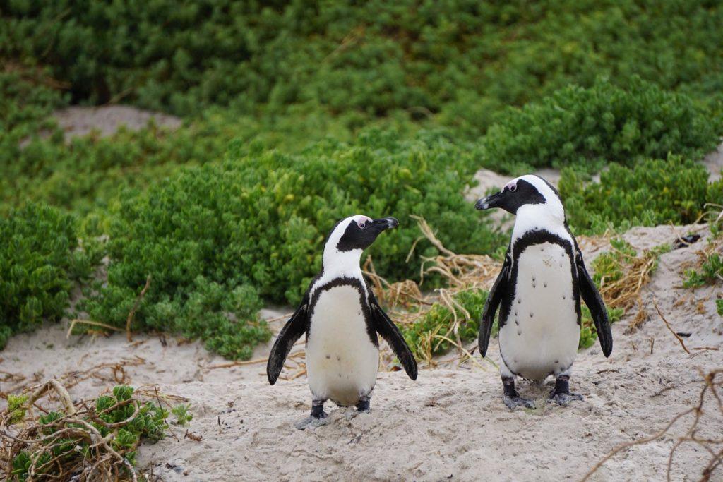 boulders-beach-pingouins-couple-afrique-du-sud-decouverte